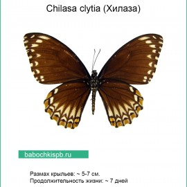 Chilasa clytia (Хилаза)